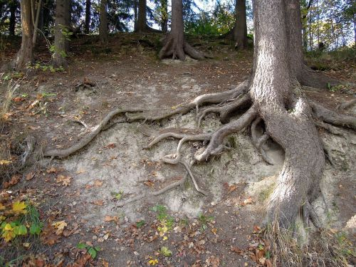 the roots of the tree tree roots