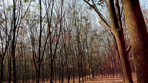 the rubber tree  rubber trees  forest