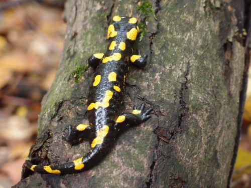 the salamander salamander salamandra salamandra