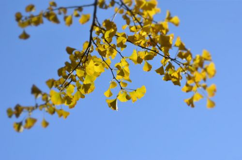 the scenery trees ginkgo