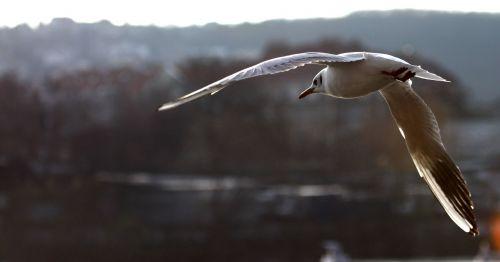 the seagull backlight smichov