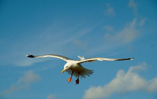 the seagull flies sea bird