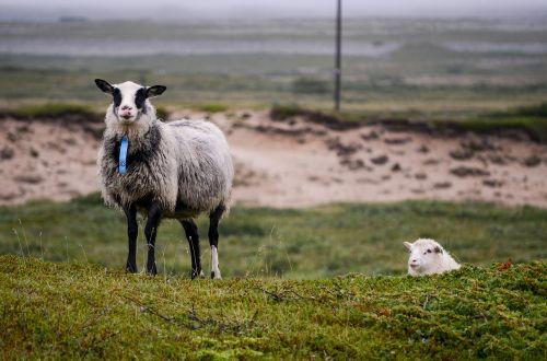 the sheep sheep animals