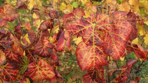 the slopes of corton in the fall vines vine leaves