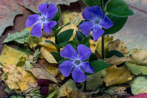 the small evergreen flower vinca minor