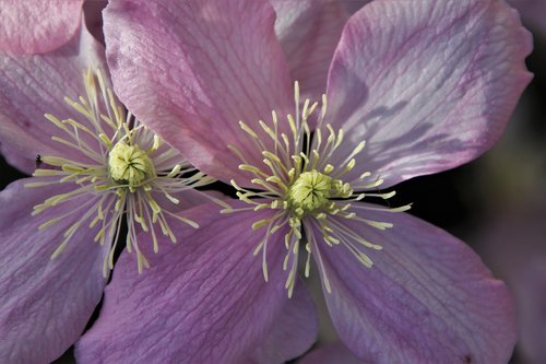 the smell of  clematis  pink
