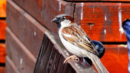 the sparrow sparrow common bird