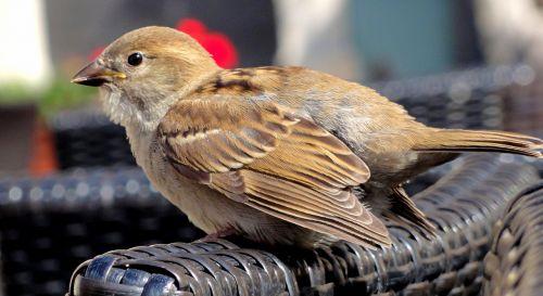the sparrow sparrow home sparrow common