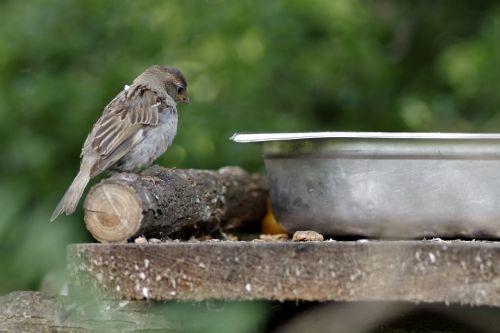 the sparrow bird gray