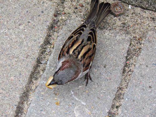 the sparrow bird wróbelek