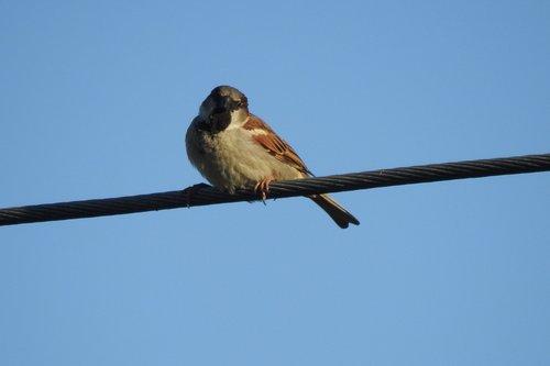 the sparrow  bird  little bird