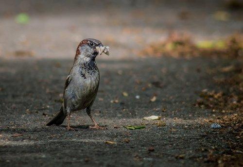 the sparrow  bird  the male sparrow