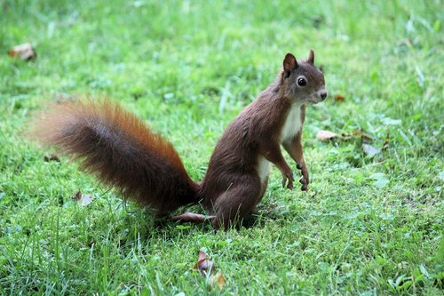the squirrel  standing  rodent
