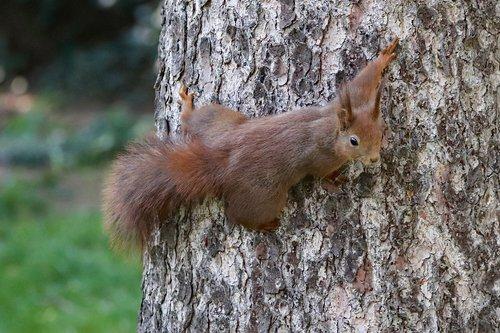 the squirrel  agile  tree