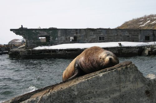 the steller sea lion cleaver rookery