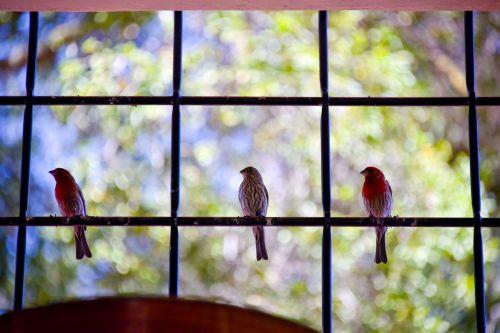 The Three Robins