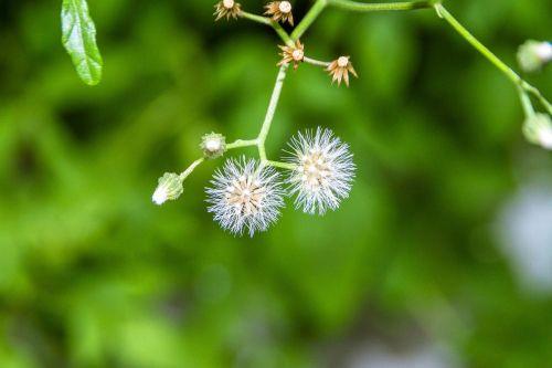 the white flowers tassels fluffy