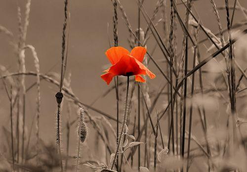 the wonders of mak flower priroda