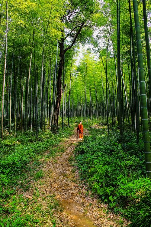 theravada buddhism monk in bamboo forest lone monk