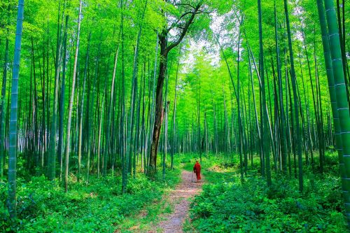 theravada buddhism monk at bamboo forest monk at nature