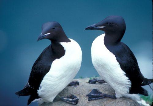 thick billed murres birds seabird