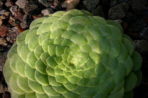 thick sheet greenhouse  aeonium  plate-shaped