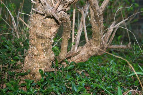 Thick Stem Of Lemon Verbena