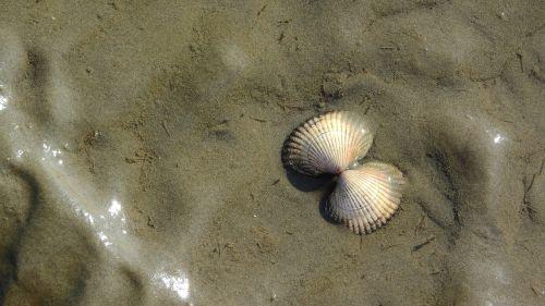 thimble the clams seashell