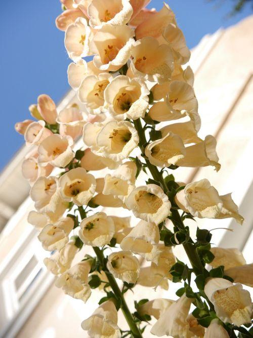thimble flower white