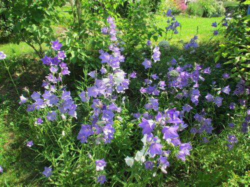 thimble blue flower