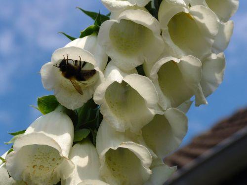 thimble garden plant