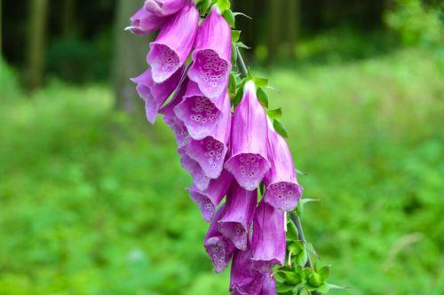 thimble toxic flower