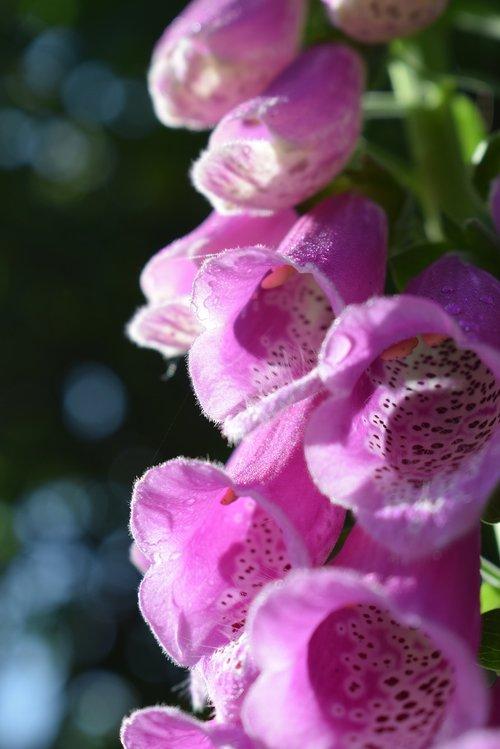 thimble  pink  blossom