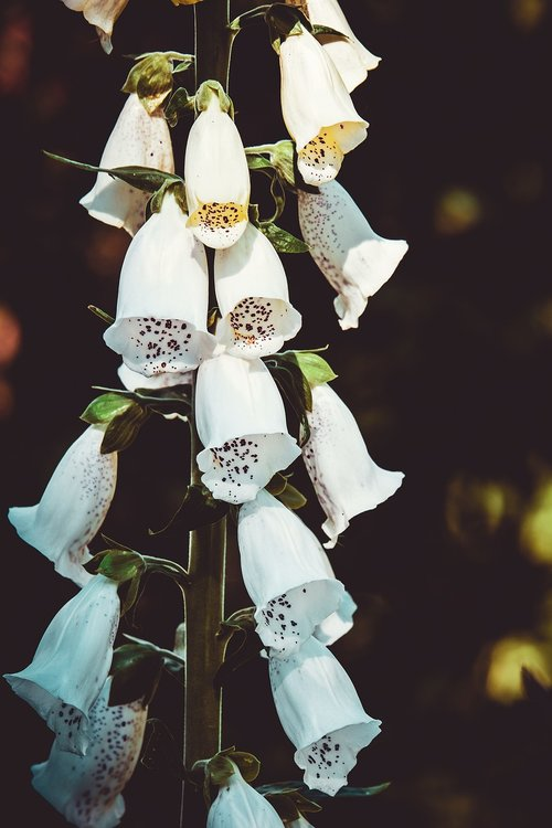thimble  flower  blossom