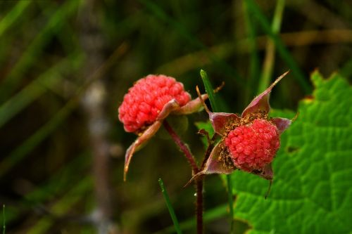 thimble berries forest nature