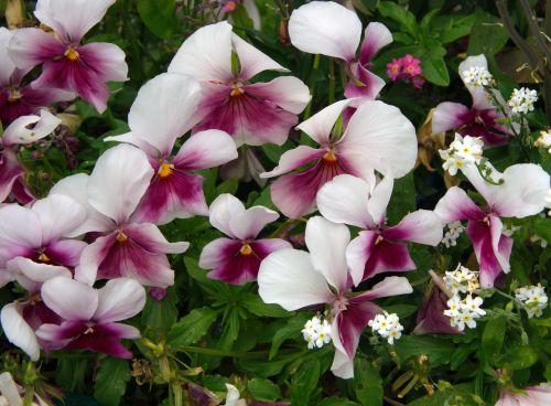 thinking viola tricolor viola