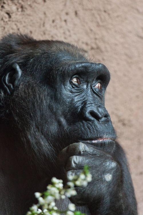 Thinking Gorilla