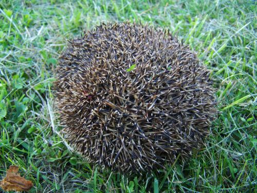 third showing a hedgehog prickly animal nature