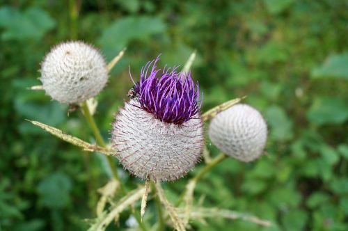 thistle flower prickly