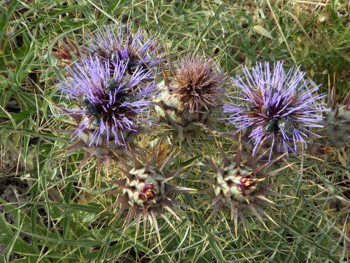 thistle wild plants wild flower