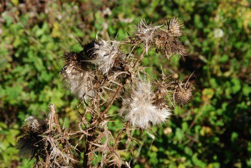 thistle arid dry