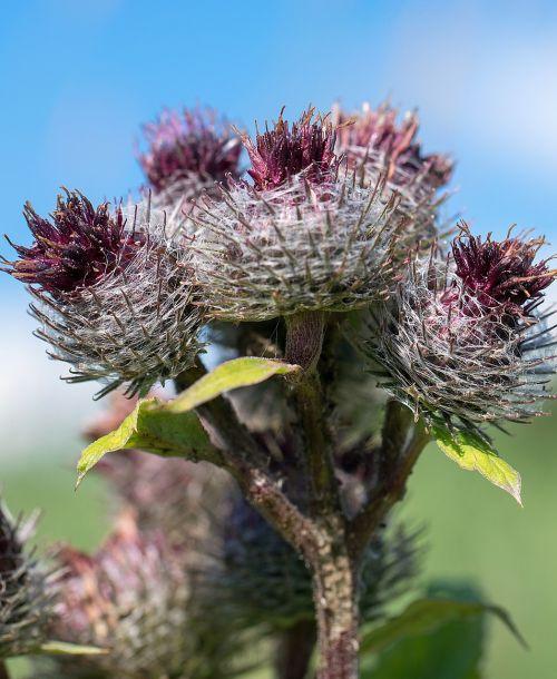 thistle flower nature