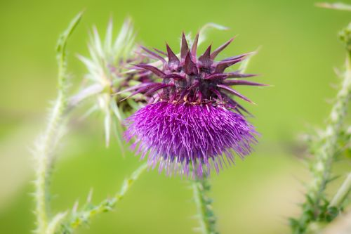 thistle blossom bloom