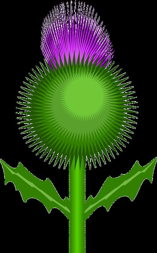 thistle flower thorns