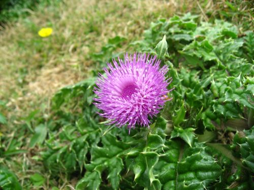thistle red purple pink