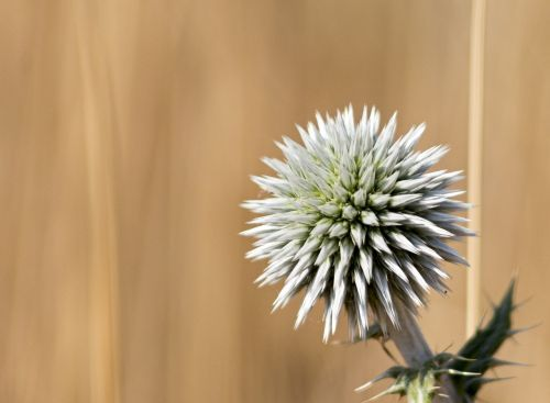 thistle nature prickle