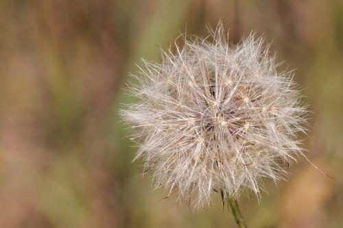 thistle dandelion seeds