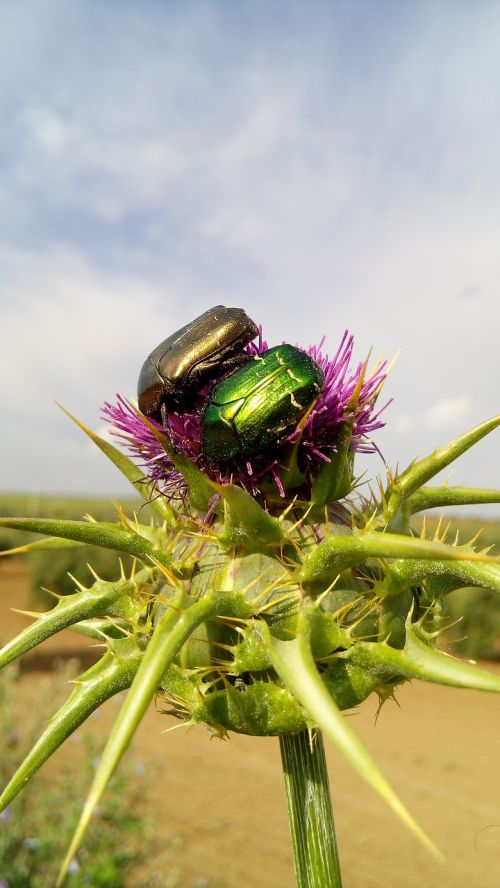 thistle beetle highlights