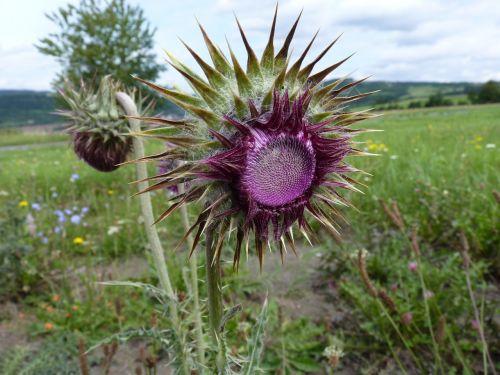 thistle purple plant