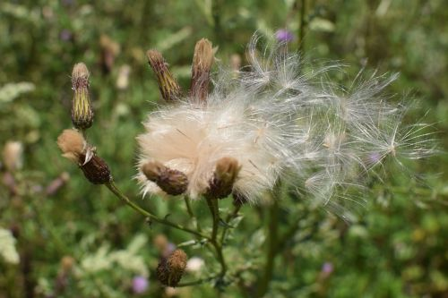 thistle seeds nature